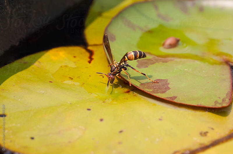 Wasp drinking water from puddle on a lily pad by David Smart for Stocksy United