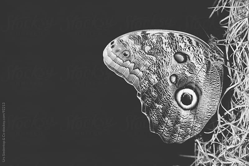 Black and white shot of Butterfly  by Urs Siedentop & Co for Stocksy United
