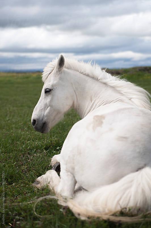 Icelandic Horse by Anthon Jackson for Stocksy United