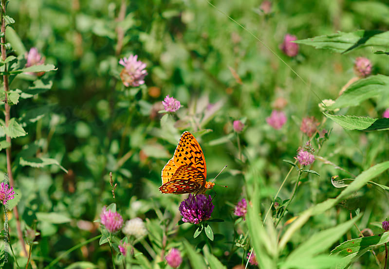 orange butterfly on purple clover by Deirdre Malfatto for Stocksy United