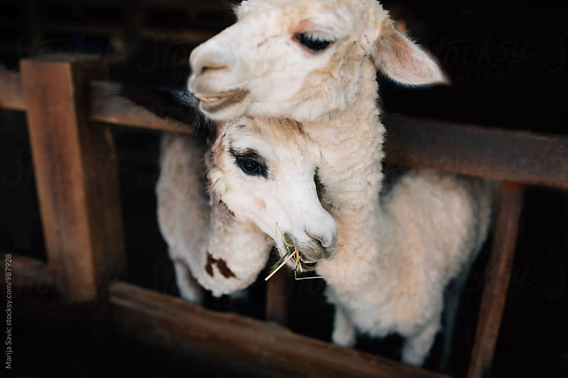 Beautiful Llama Couple by Marija Savic for Stocksy United