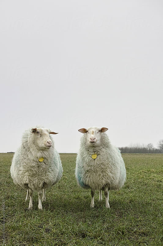 Two sheep in a meadow by Marcel for Stocksy United
