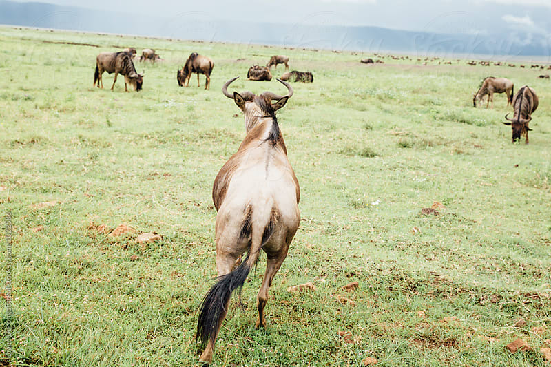 Wilderbeest Herd by Diane Durongpisitkul for Stocksy United