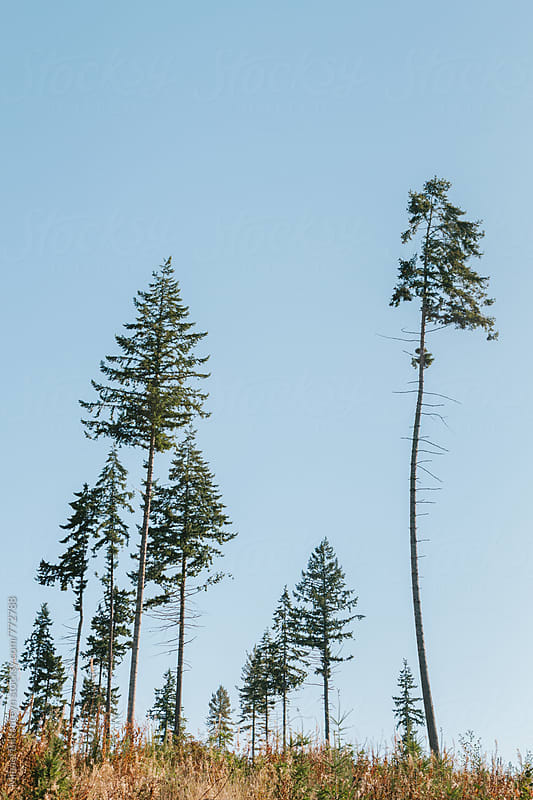 Vertical view of a grove of pine trees against clear blue sky by Mihael Blikshteyn for Stocksy United
