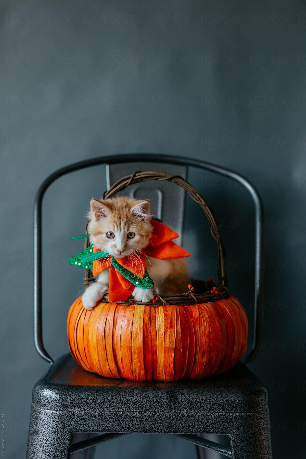 Thanksgiving Kitten In A Pumpkin By Luke Liable For Stocksy United