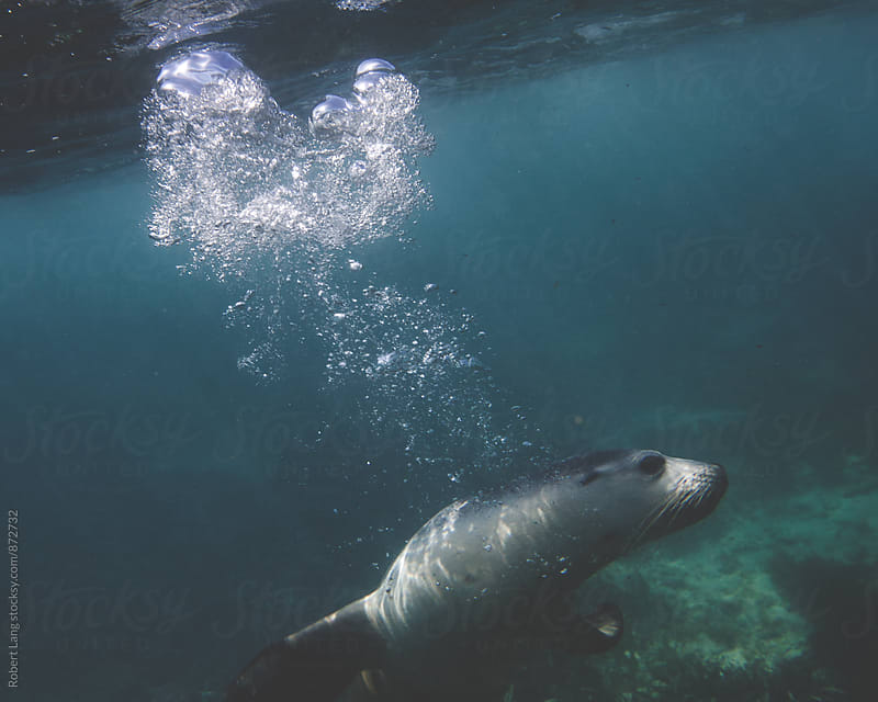 Australian Sea-Lion by Robert Lang for Stocksy United