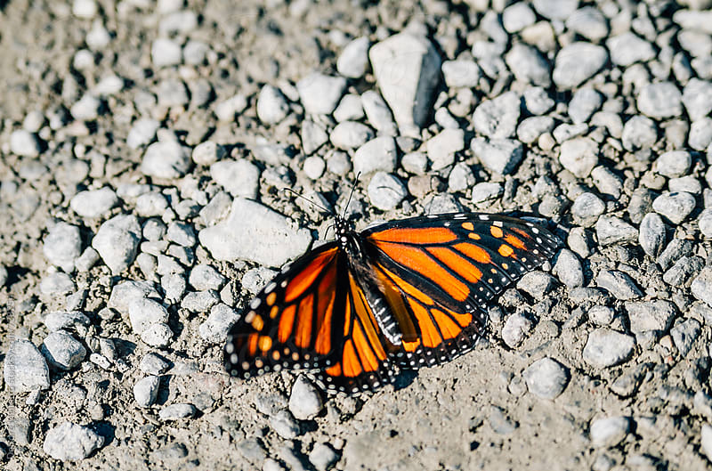 monarch butterfly resting on dust and rocks by Deirdre Malfatto for Stocksy United