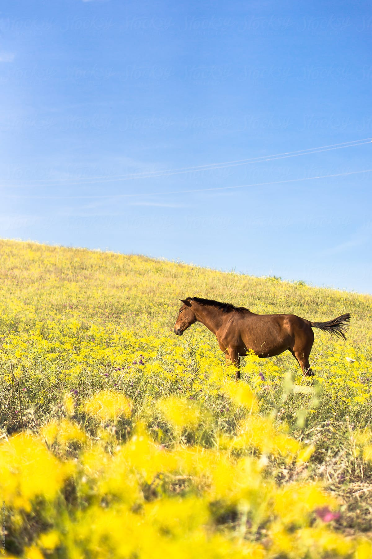 Horse Grazing In Field Of Yellow Flowers Stocksy United