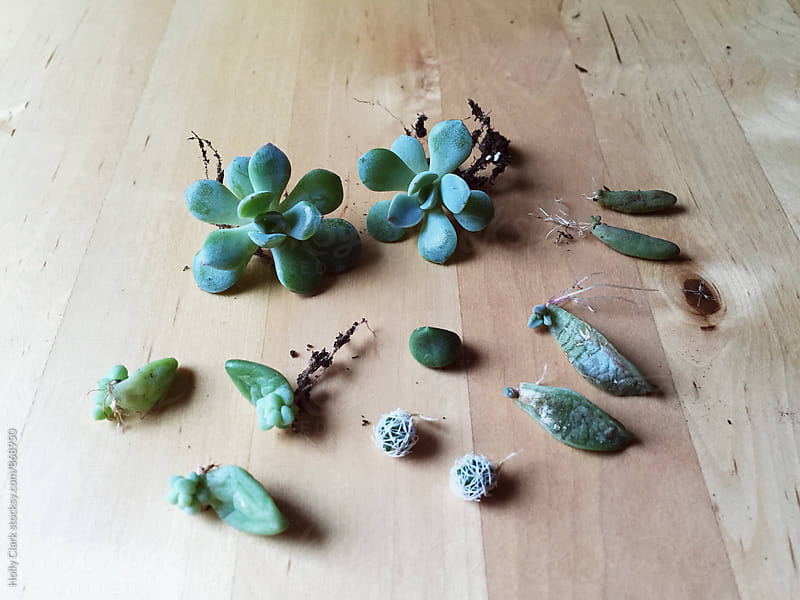 New succulent growth by Holly Clark for Stocksy United