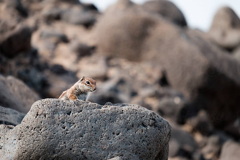 Curious squirrel peeking over a rock by Jon Attaway for Stocksy United