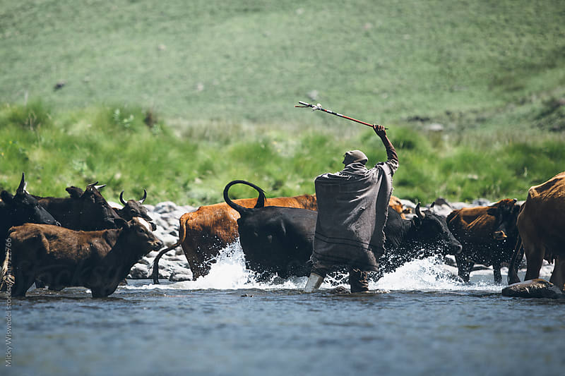 African Basotho herdsman guiding his cattle across a river by Micky Wiswedel for Stocksy United