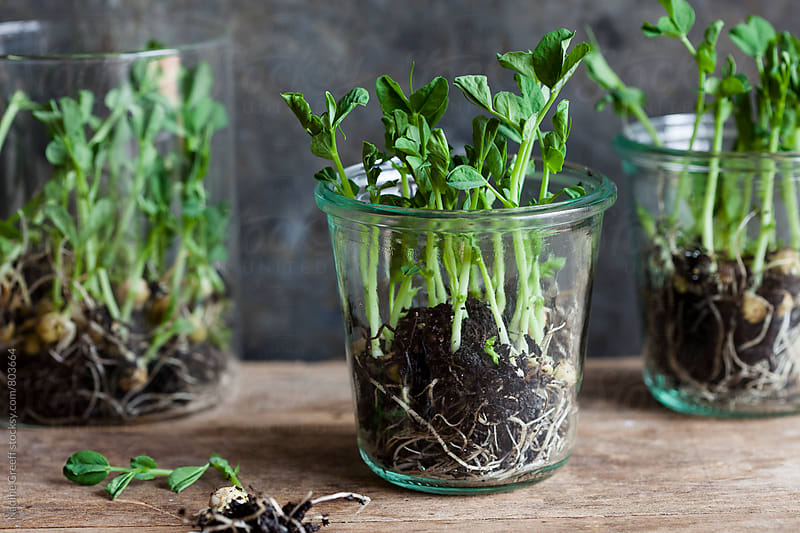 Growing pea shoots in glass jars by Nadine Greeff for Stocksy United