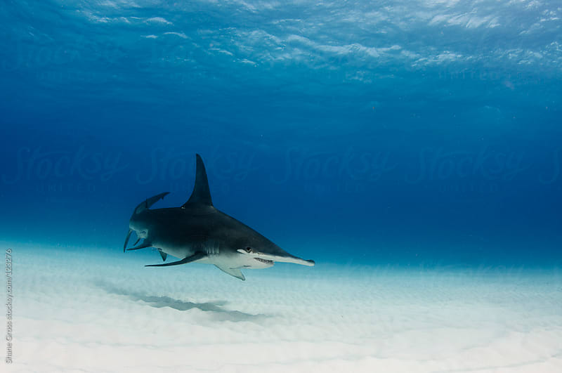 Great Hammerhead Shark over the Sand by Shane Gross for Stocksy United