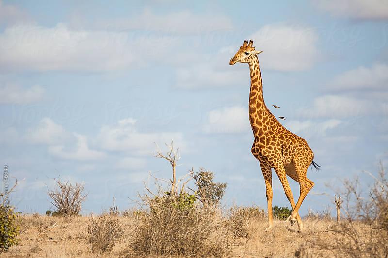 Giraffe in the savannah by michela ravasio for Stocksy United