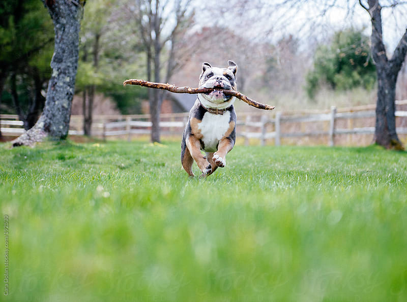 English bulldog runs through the backyard with a stick in its mouth by Cara Dolan for Stocksy United
