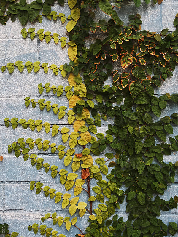 Foliage growing on a painted blue brick wall by ZOA PHOTO for Stocksy United