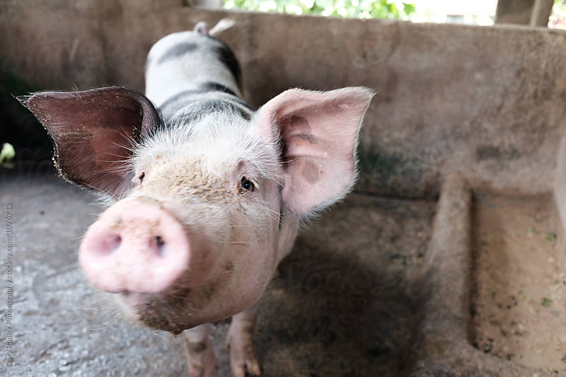 Pig in a Pen in Bali Looking at Camera by Gary Radler Photography for Stocksy United