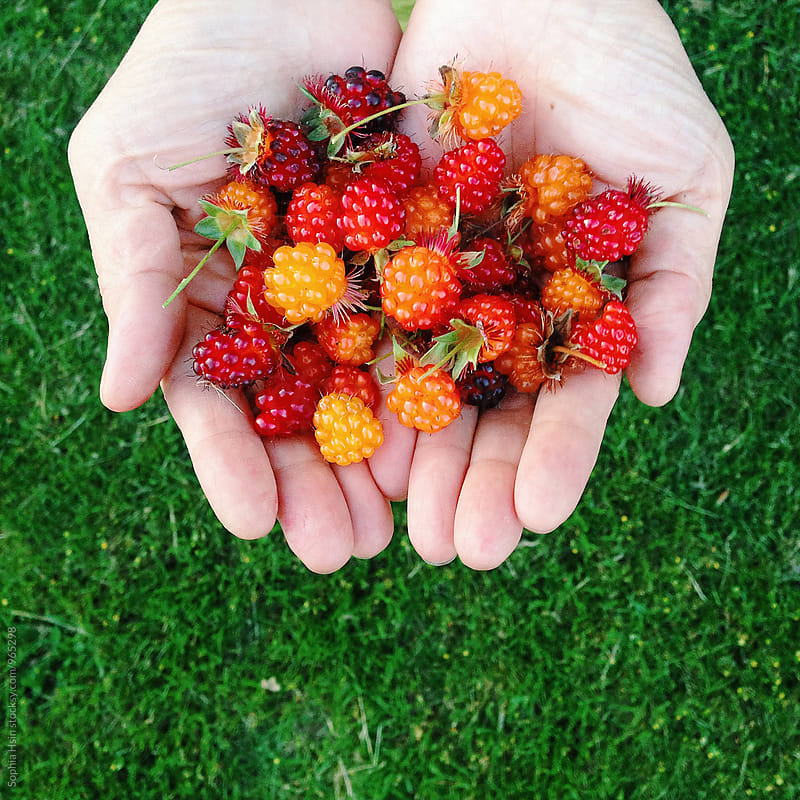 Hand holding berries by Sophia Hsin for Stocksy United