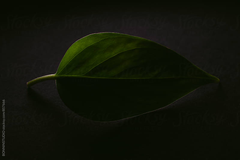 Leaf on black. by BONNINSTUDIO for Stocksy United