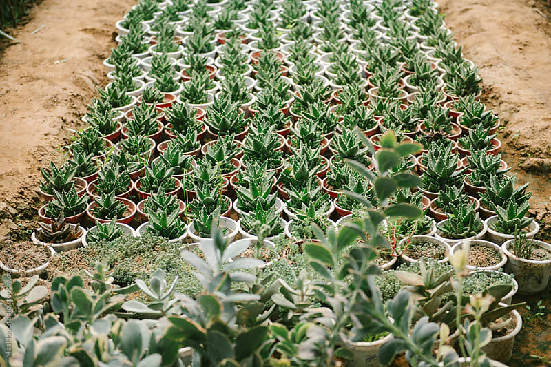 High angle view of aloe vera plan in Greenhouse by MaaHoo Studio for Stocksy United