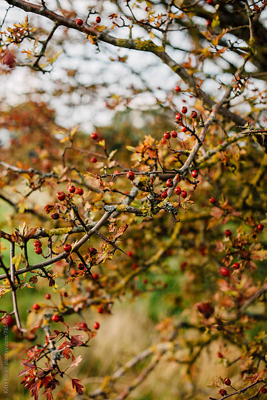 Hawthorn in autumn by Kitty Kleyn for Stocksy United