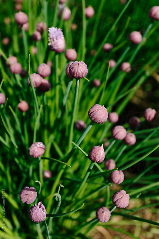 Chives just before flowering by Paul Phillips for Stocksy United