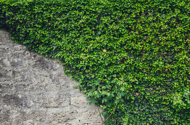 stone wall covered with green ivy by Leander Nardin for Stocksy United