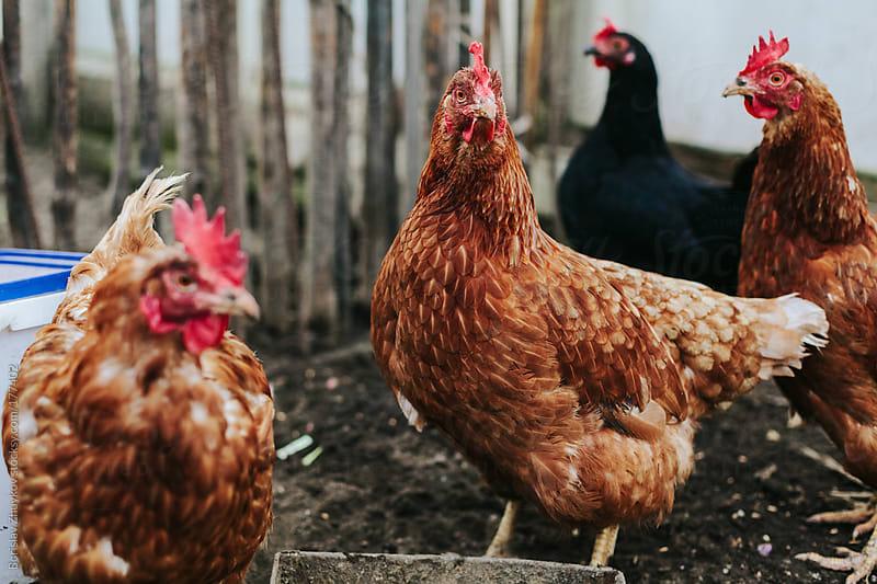 Free-range chickens by Borislav Zhuykov for Stocksy United