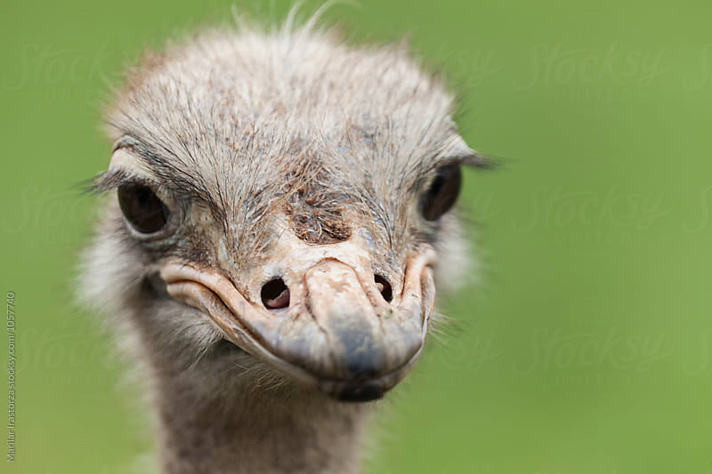 Ostrich head closeup by Marilar Irastorza for Stocksy United