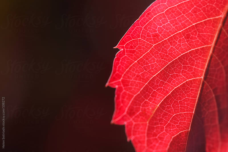 Red Leaves in Autumn by Helen Sotiriadis for Stocksy United