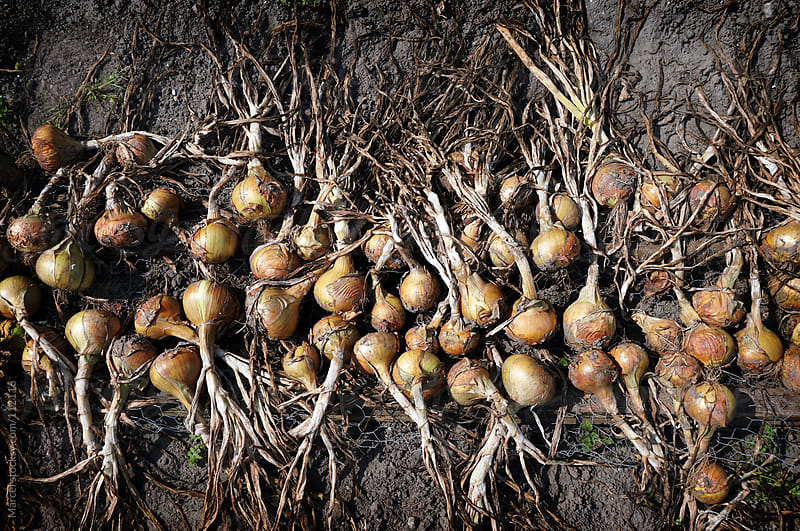 Harvested onions on the ground by Marcel for Stocksy United