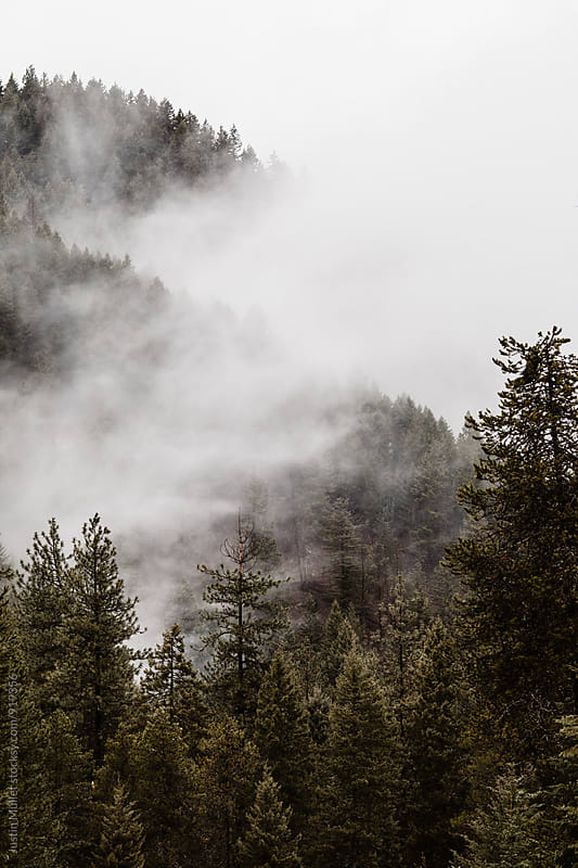 Thick clouds and pine trees on mountain side.  by Justin Mullet for Stocksy United