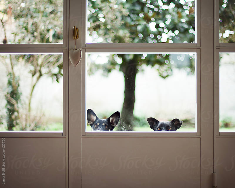 Dogs peeking inside and waiting for the door to be opened by Laura Stolfi for Stocksy United