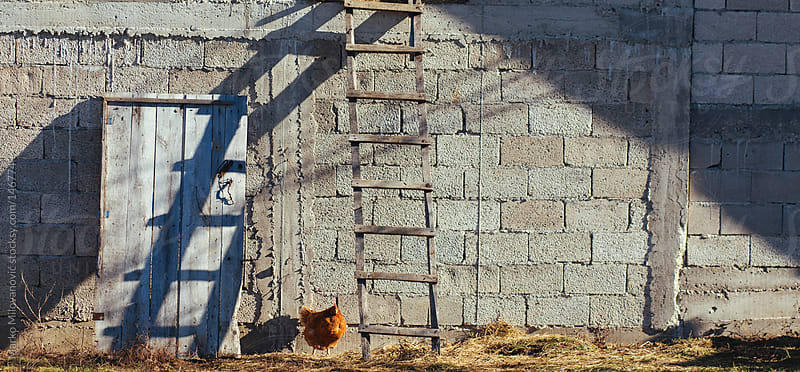 Chicken infront of stable by Marko Milovanović for Stocksy United