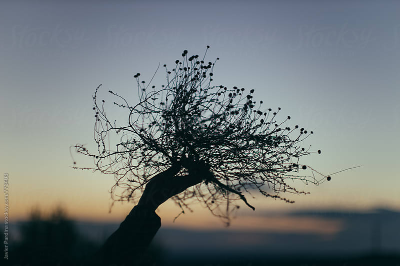 dry plants in hand at sunset by Javier Pardina for Stocksy United