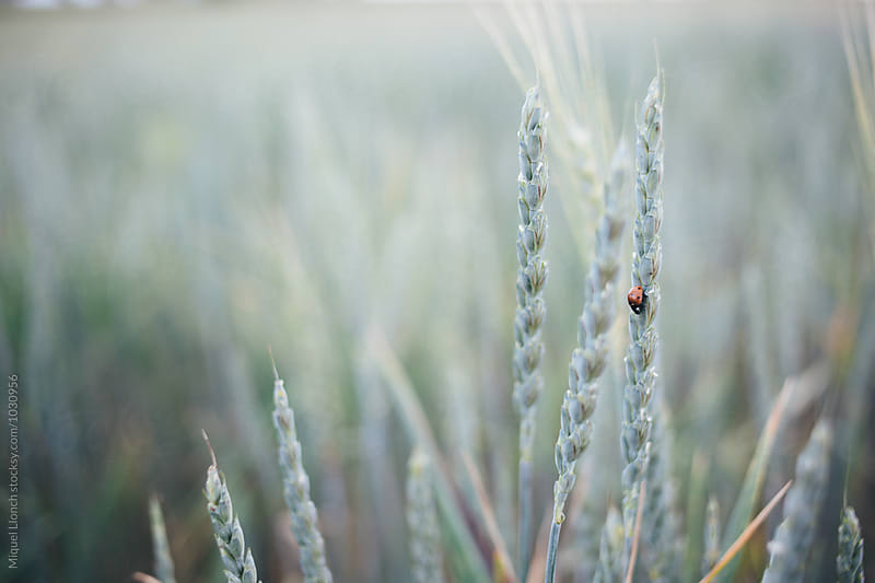 Spikes of spelt with a ladybug by Miquel Llonch for Stocksy United