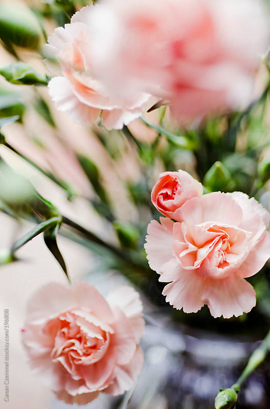dianthus flowers in a vase by Canan Czemmel for Stocksy United