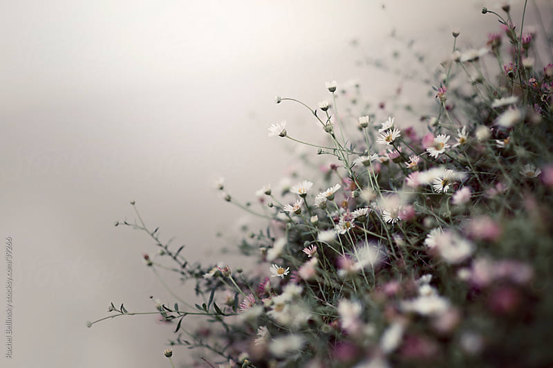 Small pink and white flower shrub in a grey mist by Rachel Bellinsky for Stocksy United