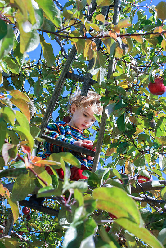 Toddler boy on ladder picks apples from an apple tree in an orchard by Cara Dolan for Stocksy United