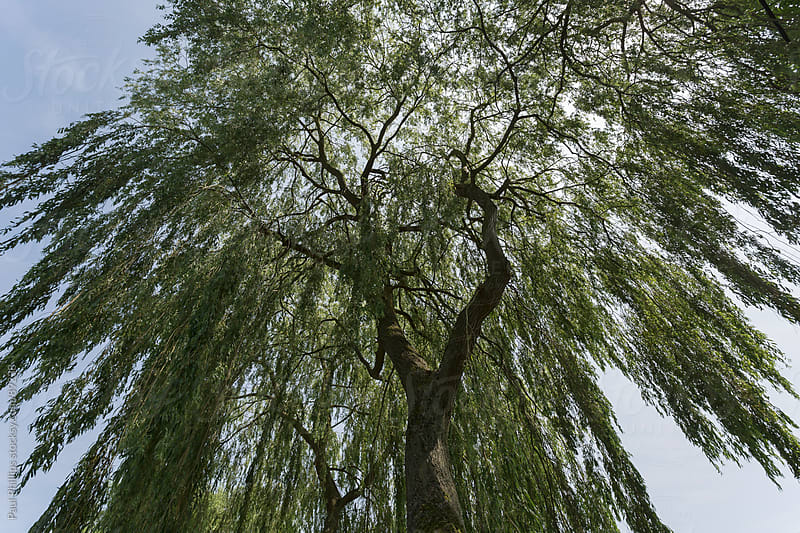 Middle of a Weeping Willow tree looking upwards by Paul Phillips for Stocksy United