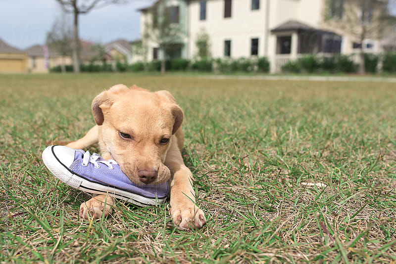 A Brown Puppy Chewing A Purple Shoe by Alison Winterroth for Stocksy United
