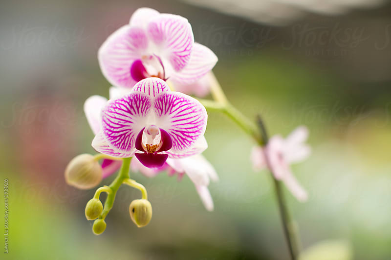 Purple butterfly orchid with buds  by Lawren Lu for Stocksy United