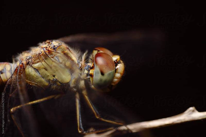 The head of a dragonfly on a twig by Sara Wager for Stocksy United