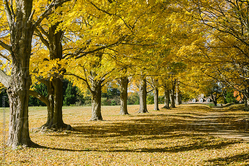 Sugar Maple Trees in Autumn by Raymond Forbes LLC for Stocksy United