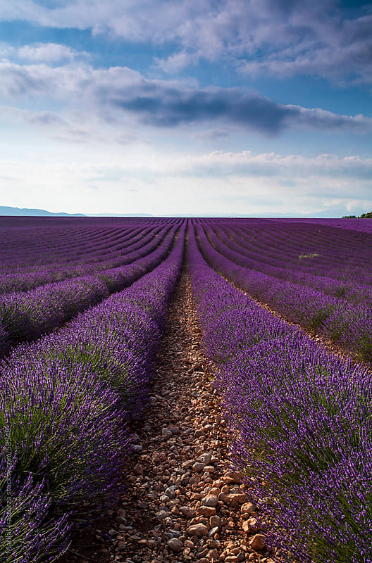 Lavender Field by Marilar Irastorza for Stocksy United