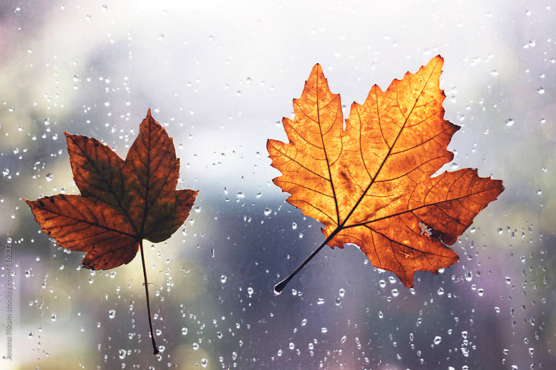 Autumn leaves with rain drops attached on window by Jovana Rikalo for Stocksy United
