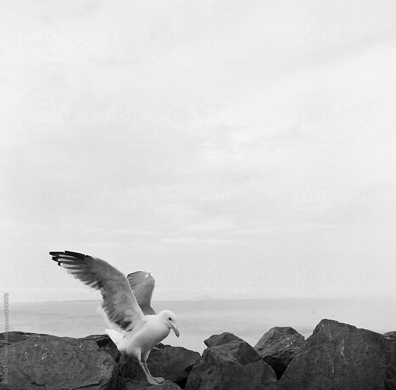 Black and White Seagull Standing on Rocks by Briana Morrison for Stocksy United