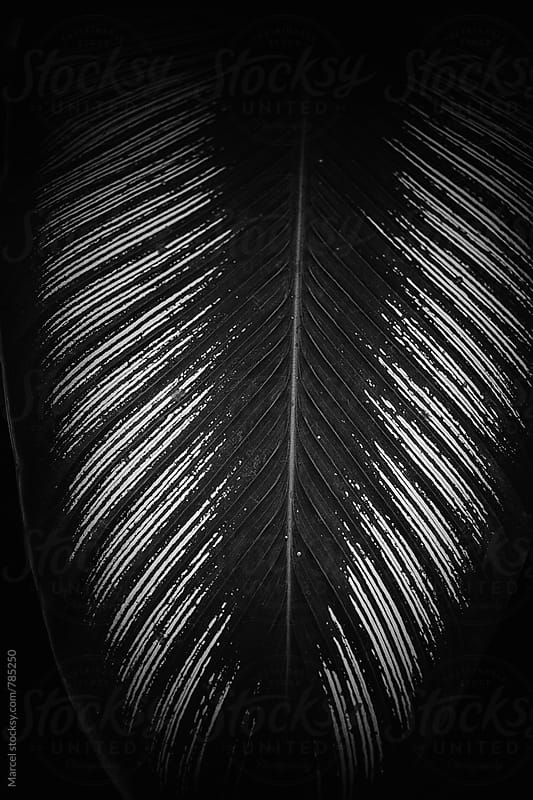 Dark b&w of an exotic palm leaf by Marcel for Stocksy United