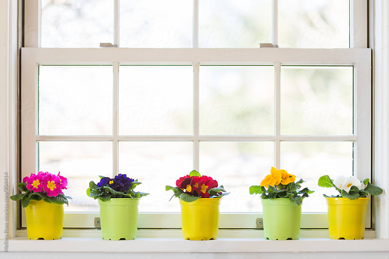 Primroses on a windowsill. by Melissa Ross for Stocksy United