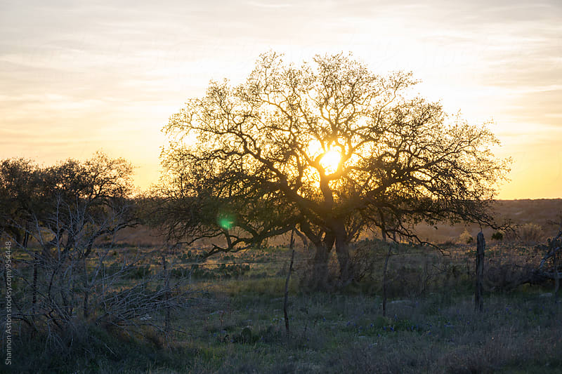 Large tree at sunset by Shannon Aston for Stocksy United